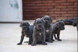 cachorros de cane corso (mastin italiano)