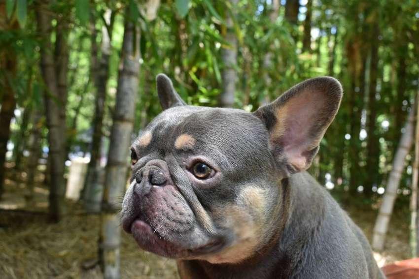 Monta Bulldog Frances Lilac and Tan El arca del Frances Importado de Europa PROMO DEL MES. 0