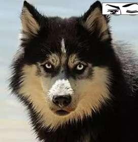 Cachorros ALASKA MALAMUTE