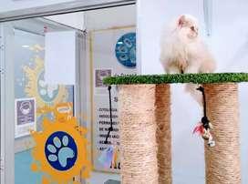 Gatos de raza persa