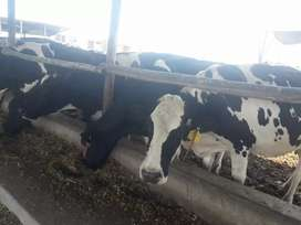 Venta de vacas preñadas  hato lechero