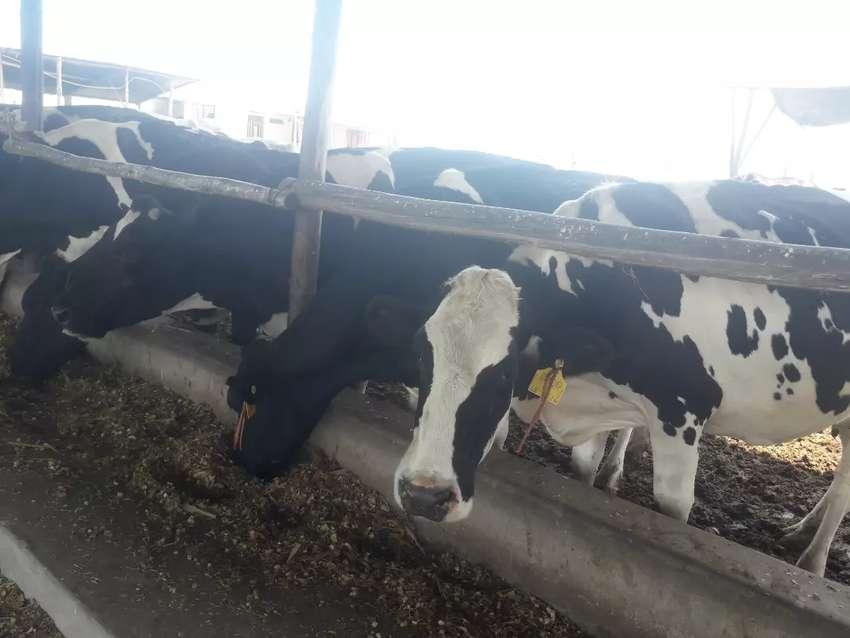 Venta de vacas preñadas  hato lechero 0