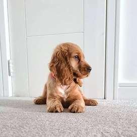 mascotas certificadas cocker spaniel tiernos caninos 58 dias de nacidos perritos peludos