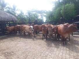 vendo 20 novillas Brahaman Rojo x Holstein preñadass