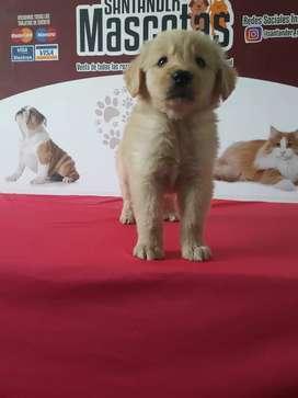 Cachorros de raza golden retriever