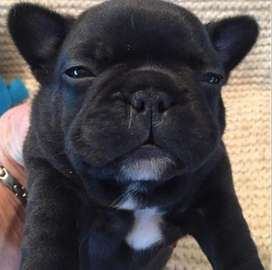 Bulldog frances, 59 dias preciosos.