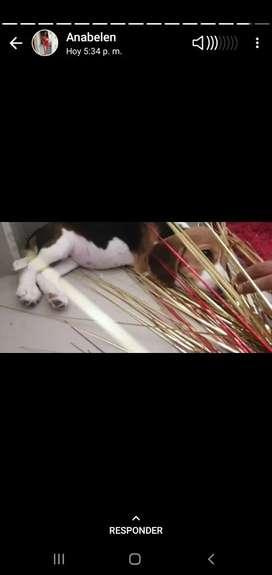 Beagle hembrita