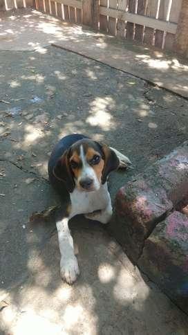 Se vende perro BEAGLE tricolor 4 meses de nacido , desparasitado y vacunas al día