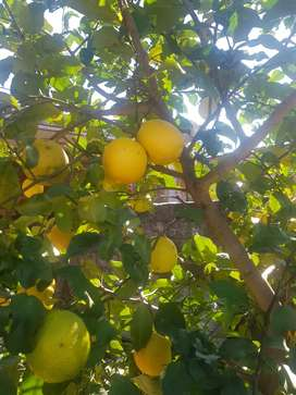 Limones Organicos
