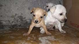 Venta de perritos pincher