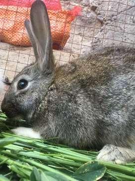 Venta de conejos y patos
