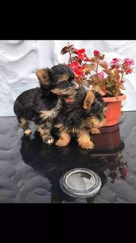 Excelentes cachorritos yorkshire terrier mini