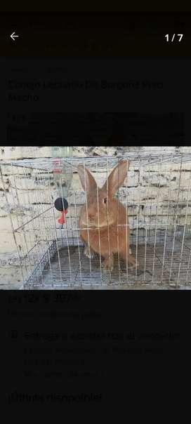 Venta de conejos de raza
