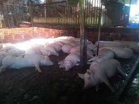 Cerdos a la venta