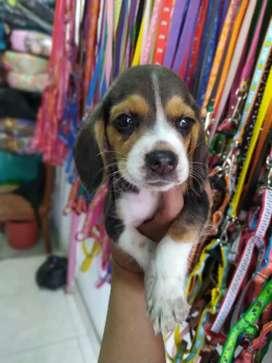 Beagle en venta