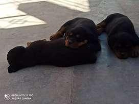 Cachorros Rottweiler - huancayo
