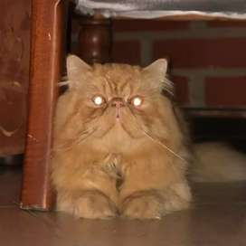 hermosos gatos persa buscan novia
