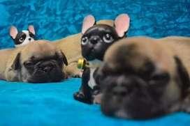 Ejemplares cachorros  bulldog  francés  disponibles alta genética