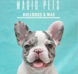 Cachorros bellos y exoticos, bulldog frances