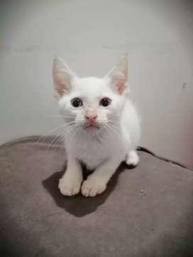 Hermoso gatito siamés blanco