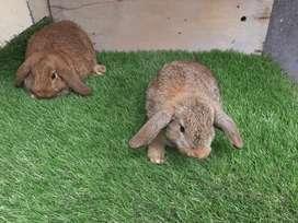 Parejita de conejitos lop hembra y macho