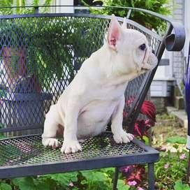 bulldog frances gordito de 45 dias