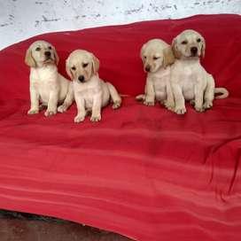 Cachorros Labradores Dorados