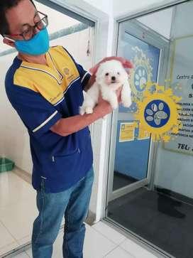 Cachorro de Couto, bichón
