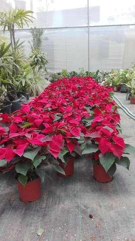 planta navidad quevedo