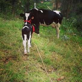 Vendo hermosa vaca con cría vacona