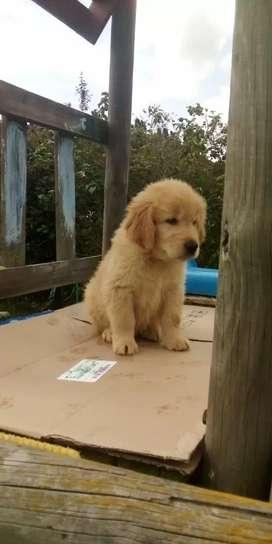 Cachorros golden retriever para la venta de 52 días de nacidos