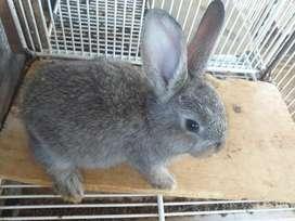 Se vende conejo gigante flandes