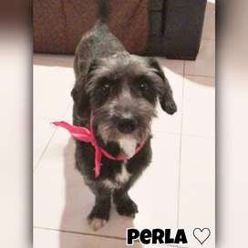 Perla hermosa cachorra de un año en adopción