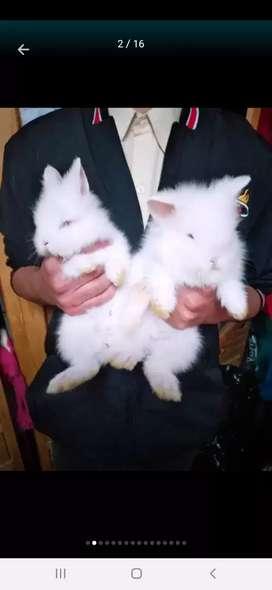 Conejos Cabeza de leon . Originales  de Bélgica