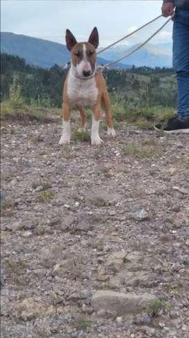 Bull terrier servicio de Monta