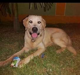 Perro de raza Labrador, edad12 meses en adopción