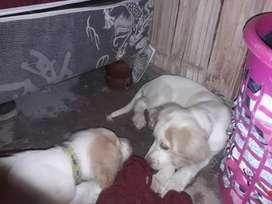 Cachorritos de 3 meses Golden retrieve