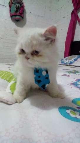 Se vende gato persa 100% puro