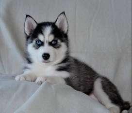 husky siberiano 56 dias lobos hermosos cariñosos