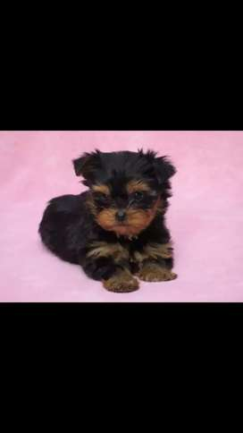Encantadores yorkshire terrier a la venta minis