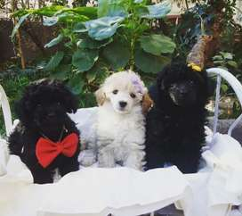 Poodle Toy Negro Padres Importados