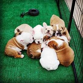 tiernos bulldog ingles niñas de 56 dias bebes