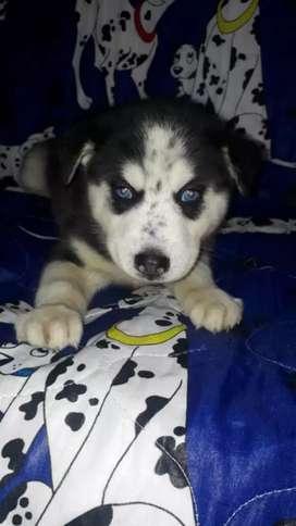 •linda niña husky siberiano•