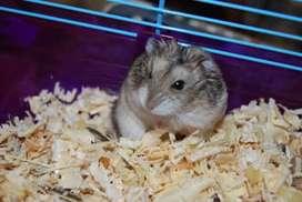 Hermosos Hamsters Rusos