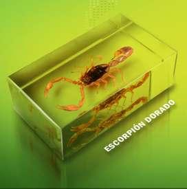Escorpión Dorado - Arácnido Real, disecado en Silicona