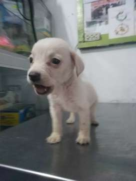 Bella cachorra labradora