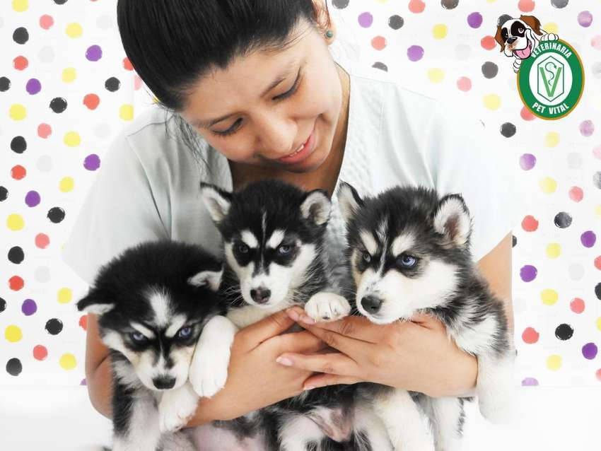 Bellos Cachorros Husky Siberiano en Pet Vital  !! 0