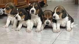 Lindos caballeros beagles enanos