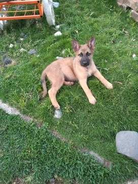 Vendo hermosa cachorra pastor  belga malinois ee