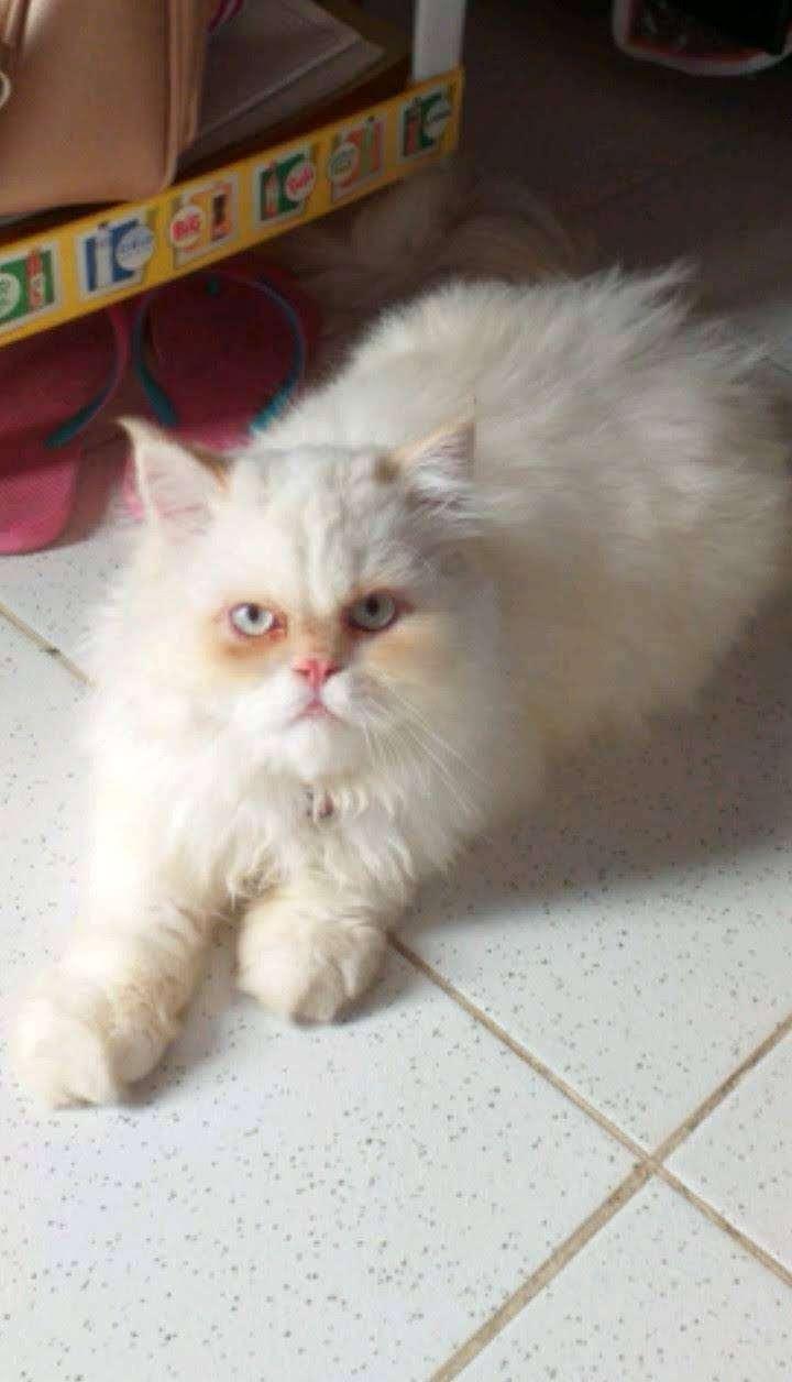 Gato persa busca novia 0